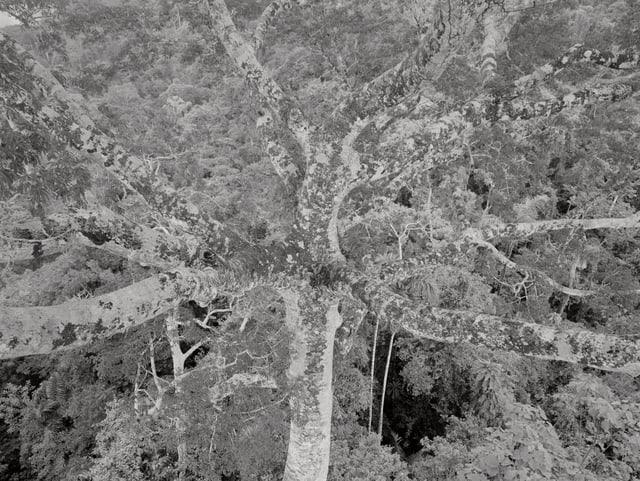 Blattloser Baum vor dichtem Wald