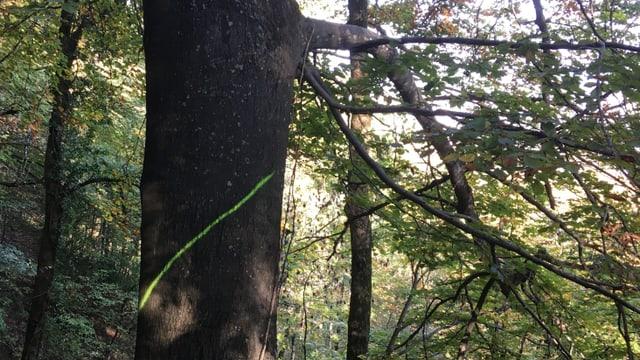 Grosse Buche mit einer Markierung, die zeigt, dass der Baum weichen muss