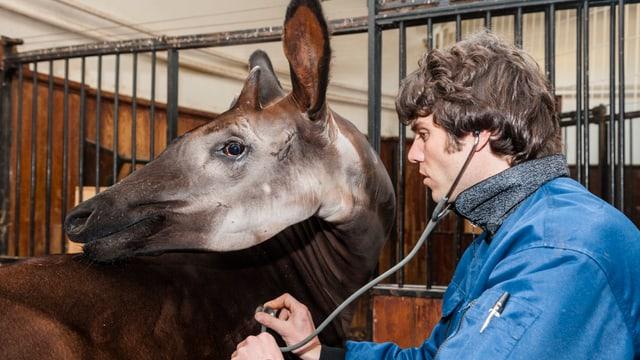 Auch das Okapi muss sich mit dem Stethoskop untersuchen lassen.
