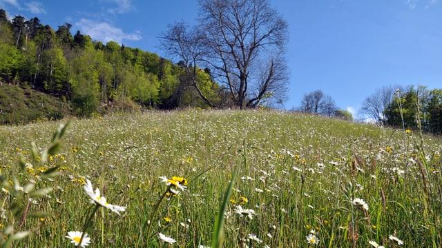 Frühlingswiese in der Nordwestschweiz.