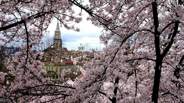 Dank einem warmen Start in den April blühte es am 7. April in Bern prächtig.