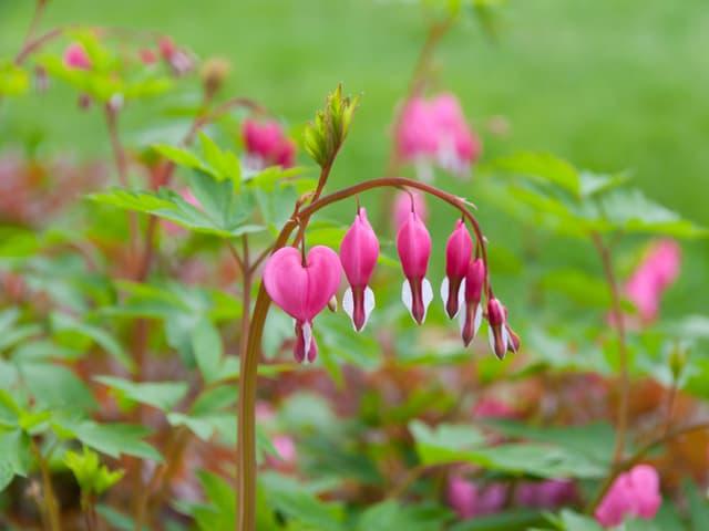 Rosarote, herzförmige Blüten.