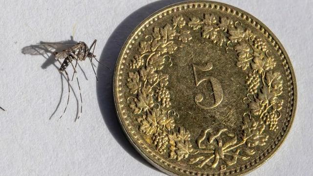Mücken mit fünfräppler