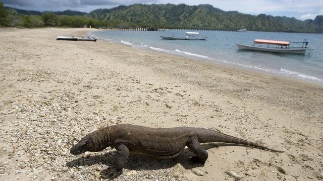 Komodo-Waran an einem Strand, dahinter Boote.