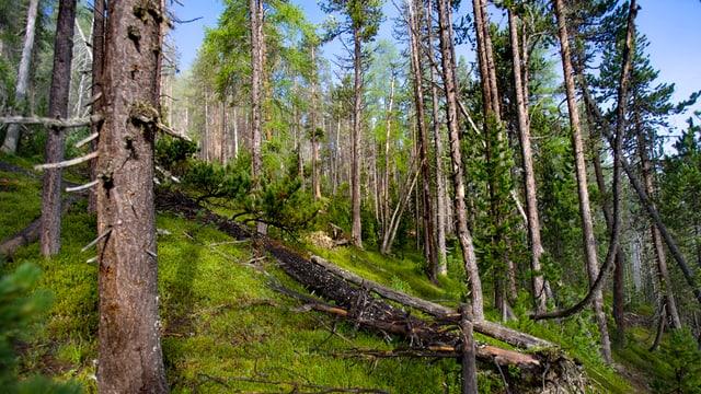 Wald mit niedergestürzten Bäumen