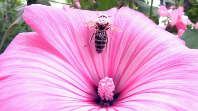 Eien Biene auf einer pinken Blüte, voll mit Blütenstaub.