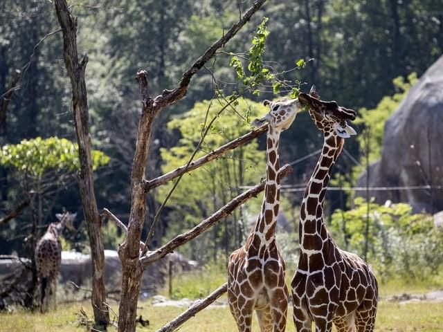 Zwei Giraffen ragen ihre langen Hälse in die Höhe, um an die Blätter des Baumes zu kommen.