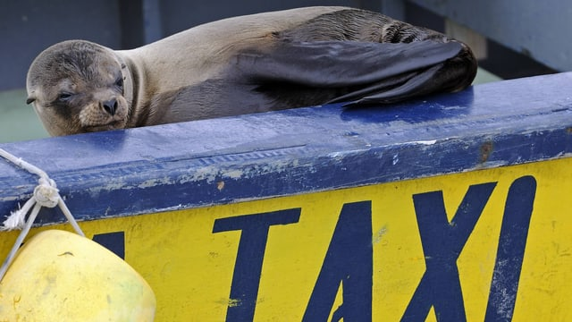 """Eine Robbe auf einem mit """"Taxi"""" beschrifteten Boot."""