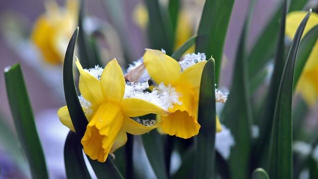 Verschneite Blumen im Oberbaselbiet