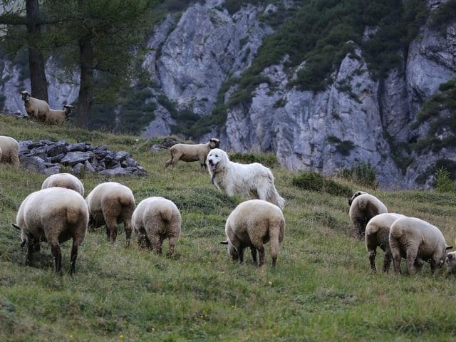 Ein Herdenschutzhund inmitten weidender Schafe.