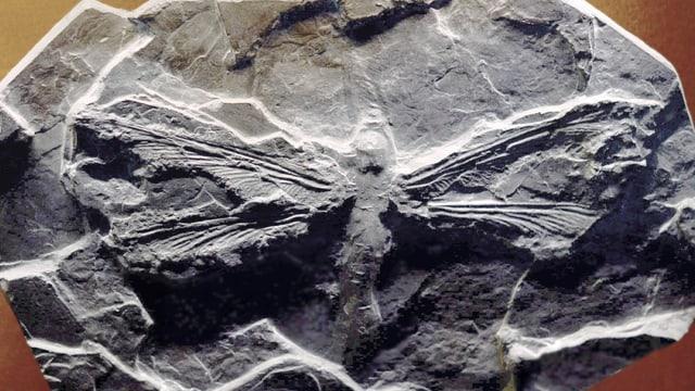 Fossile Libelle