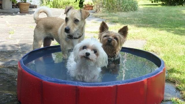 Drei Hunde im Plantschbecken.