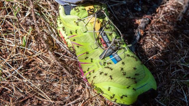 Viele Ameisen an einem Schuh