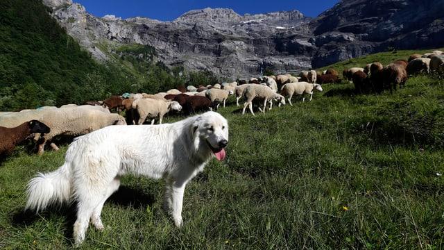 Weisser Herdenschutzhund in den Alpen, hinter ihm Schafe am Weiden.