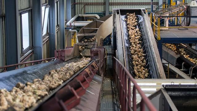Zuckerrüben in der Fabrik in Aarberg.