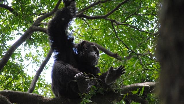 Ein Schimpanse baut sich auf einem Ast in einem Baum aus Zweigen und Blättern ein Nachtlager.