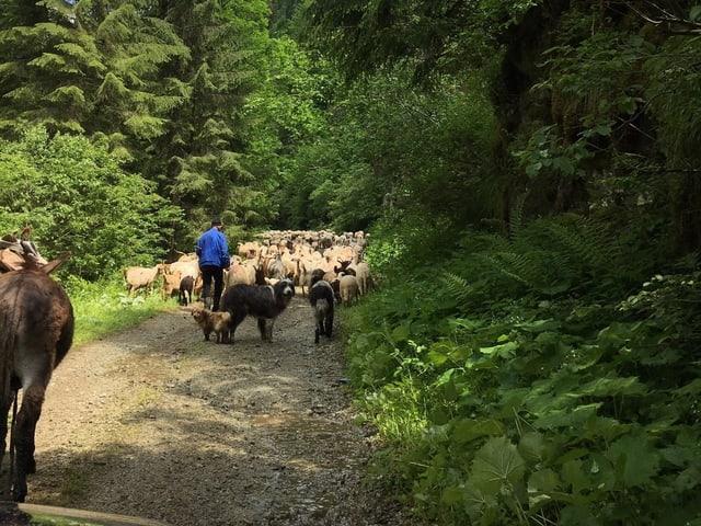 Hirten treiben die Schafe durch die Schneise im Urwald.