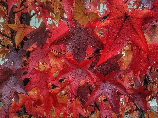 Es lagern sich Tropfen auf rotverfärbten Ahorn- und Weinblättern an.