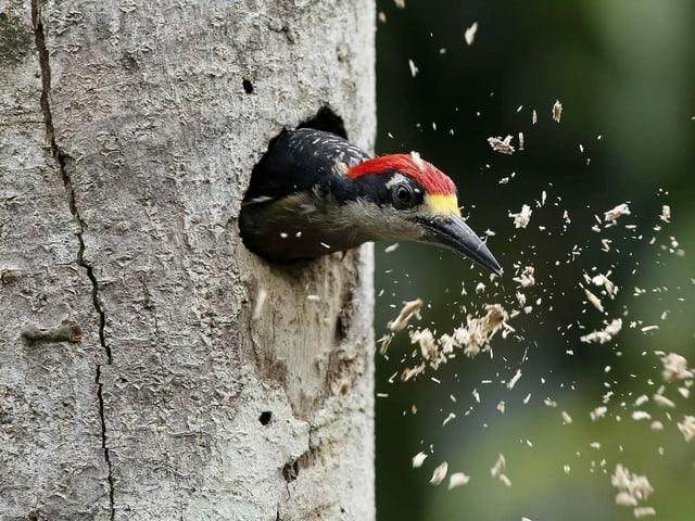 Ein Specht schaut aus einer Spechthöhle in einem Baum.