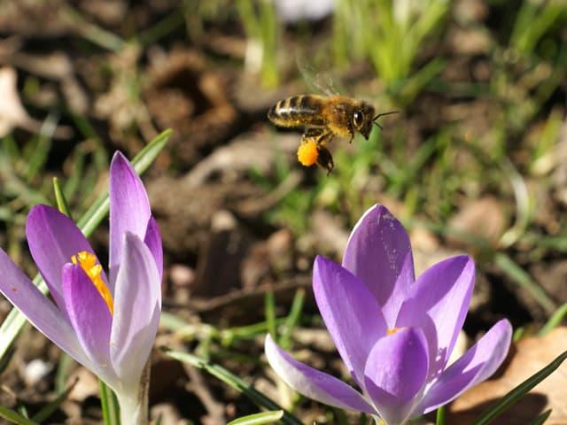 Biene fliegt zwischen zwei Krokussen