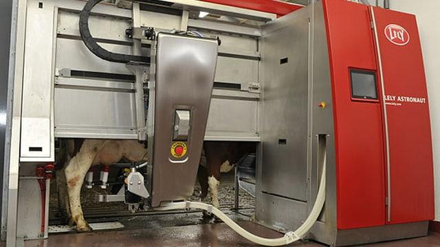 Eine Kuh steht in einem Melkroboter