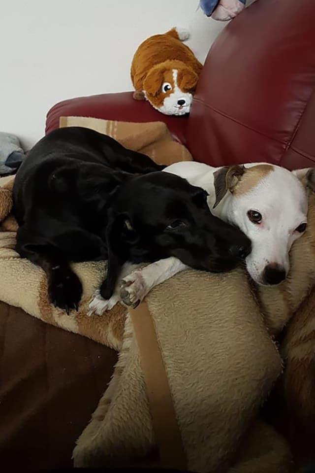 Ein schwarzer und ein weisser Hund, die nahe beieinander liegen.