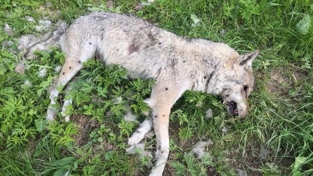 Toter Wolf auf einer Wiese.