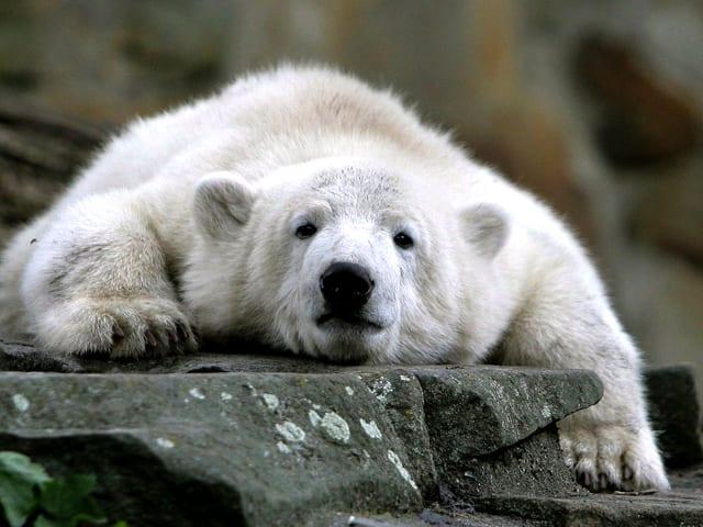 Ein fauler Eisbär.