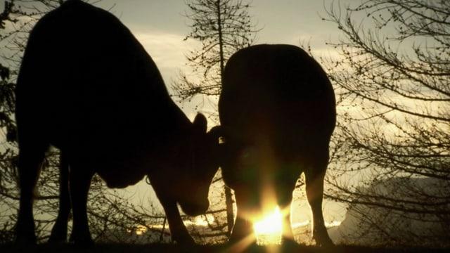 Zwei Kühe vor dem Sonnenuntergang.