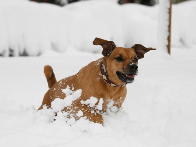 Ein Hund tollt im Schnee herum.