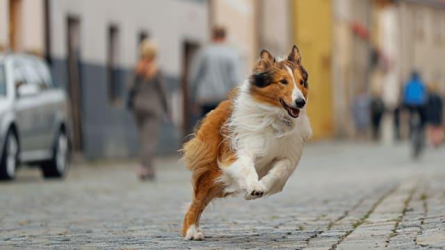 Ein Langhaarcollie rennt durch eine Pflasterstein-Strasse.