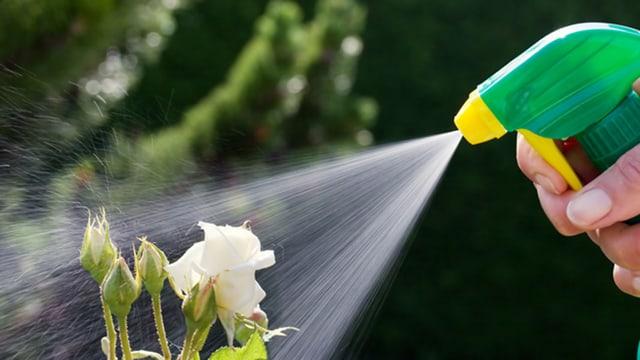 Weisse Rose wird mit Pestizid besprüht