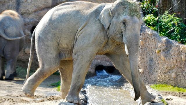 Der junge Elefantenbulle Thai im Zürcher Zoo macht einen kleine Spagat mit den Vorderbeinen.