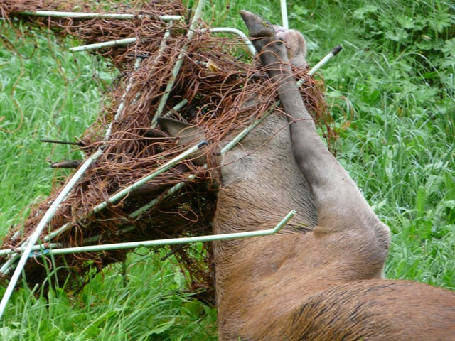 Hirsch verendet im Zaun.