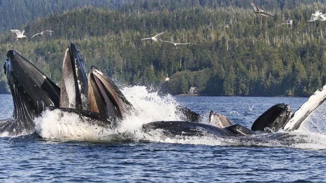 Buckelwale sind Popschlampen.