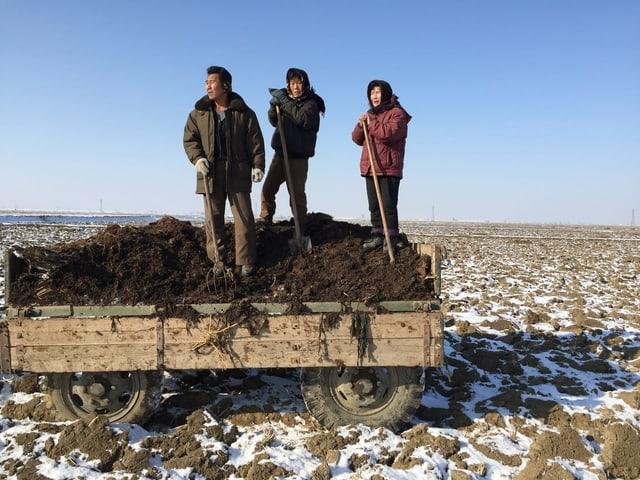 Drei Arbeiter auf einem gefrorenen Reisfeld verteilen Mist als Dünger.