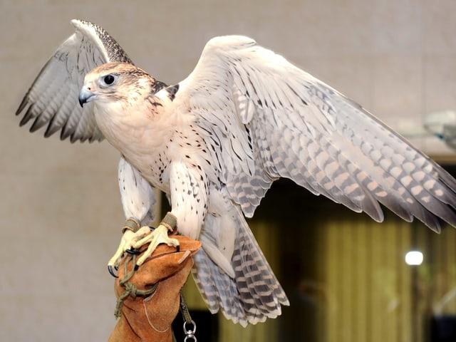 Ein Falke.