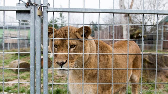 Löwin schaut aus dem Gehege.