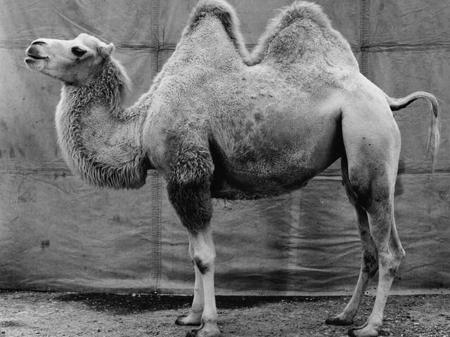Schwarz-Weiss-Foto eines Kamels