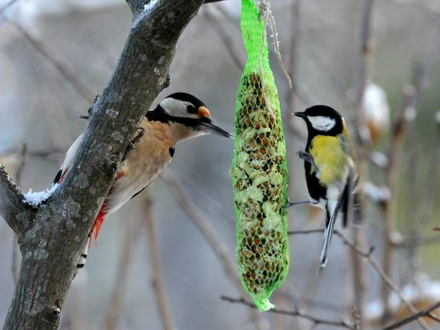 Ast mit Vogelfutter. Eine Kohlmeise mit gelber Brust und ein Buntspecht in rot-schwarz-weiss fressen daran.