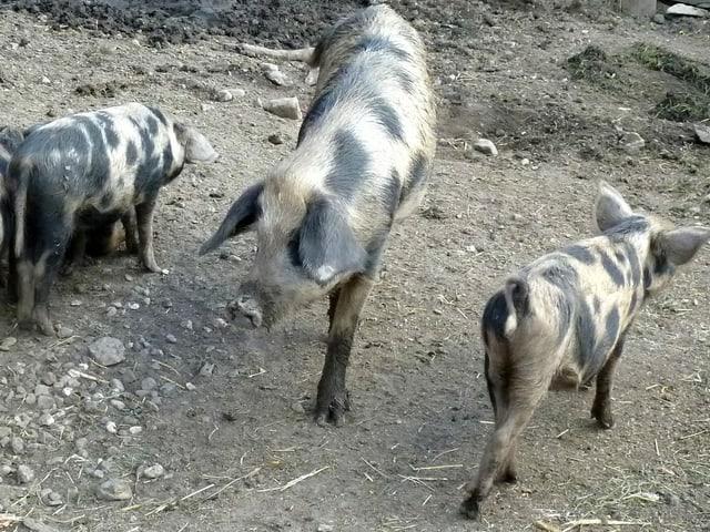 Die Alpenschweine haben längere Beine als Edelschweine.