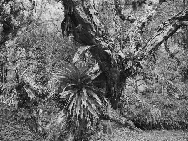 Dickicht mit verzweigtem Baum, auf dem andere Pflanzen wachsen