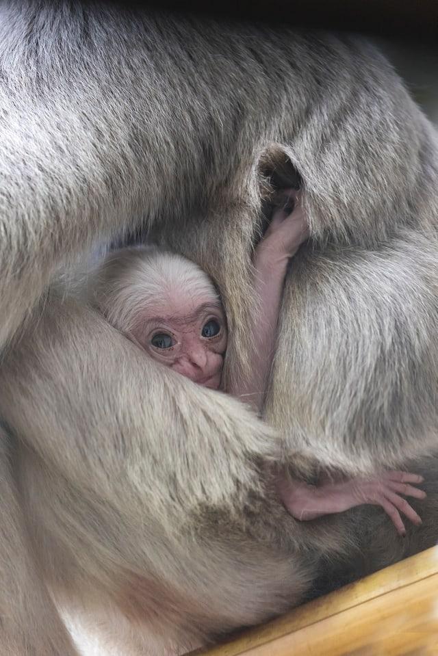Ein kleines Äffchen, von dem man nur das Gesicht erkennen kann, weil rundherum die behaarten Arme eines grösseren Affen sind.
