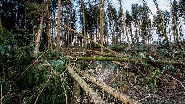 Der Blick auf einen Waldabschnitt. Im Vordergrund liegen umgeknickte Bäume auf dem Boden.