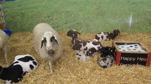 Schafe und Lämmer im Gehege an der Olma.