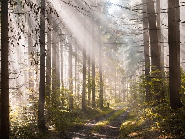 In einem nebligen Tannenwald sind die Sonnenstrahlen als helle Linien zu erkennen.