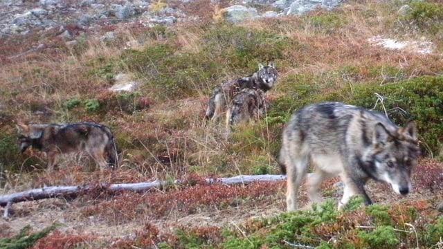 Drei Wölfe.
