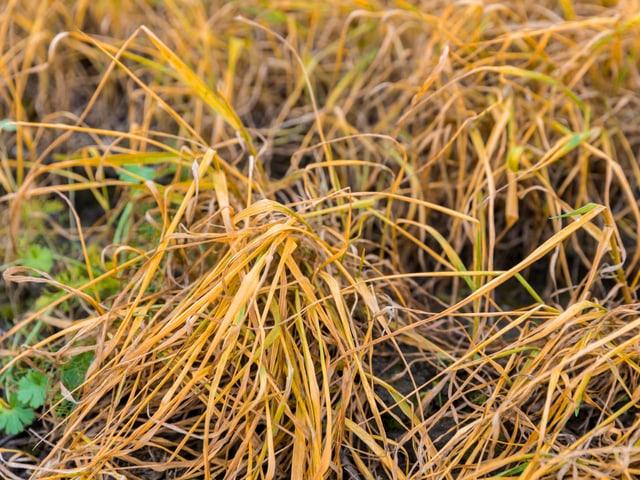 Verdorrtes Gras nach einer Glyphosat-Behandlung.