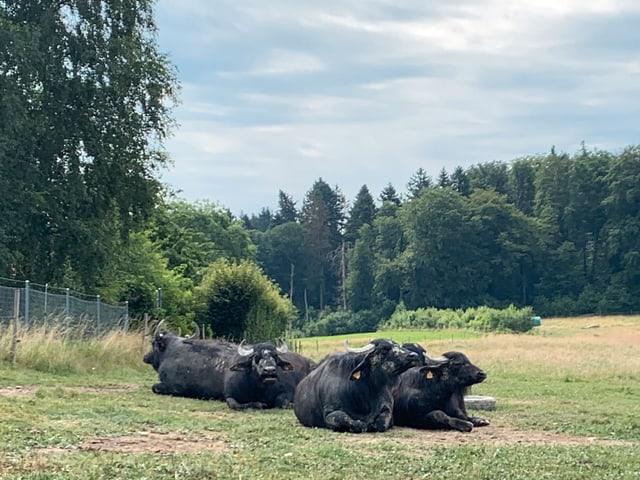 Wasserbüffel sind an das Leben auf feuchtem Grünland angepasst.