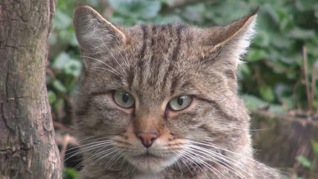 Kopf einer Wildkatze.